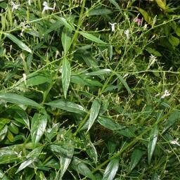 Chirayata-plant-900x900.jpg