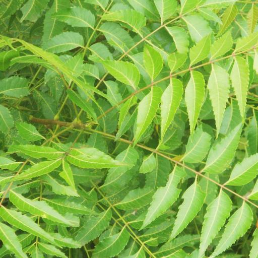 neem_leaves_900x900.jpg