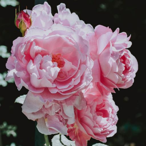 Rose Petals (dried) 25g